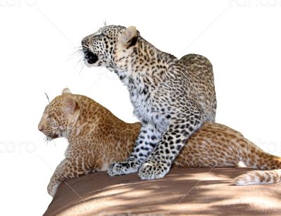 Portrait Isolated Picture of Unique Young Leopard Siblings
