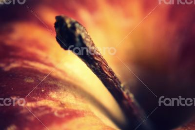 Apple Stem