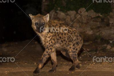 Spotted wild hyena