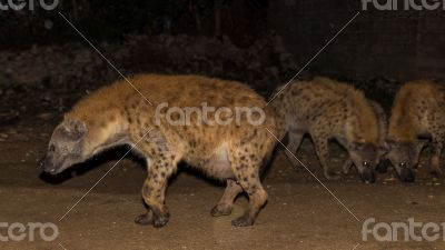 Spotted wild hyenas