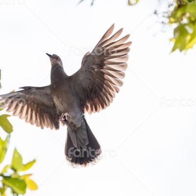 A pigeon in mid flight