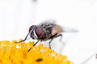House fly sucking  the nectar of a flower