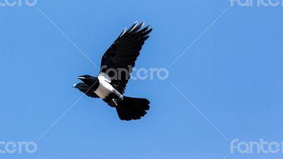 Crow in mid flight