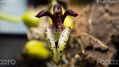 Bulbophyllum lasiochilum (Black)