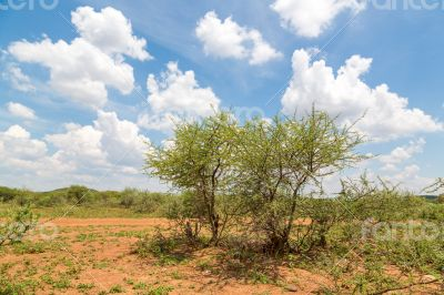 Shrubs in the dry savannah grasslands of Botswana