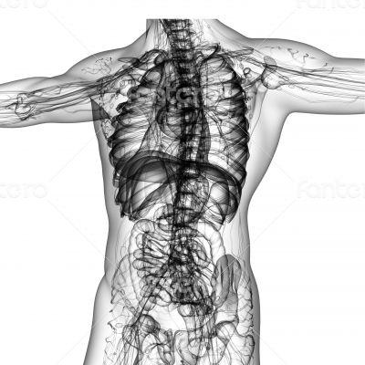 uman anatomy