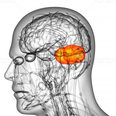 human brain cerebrum