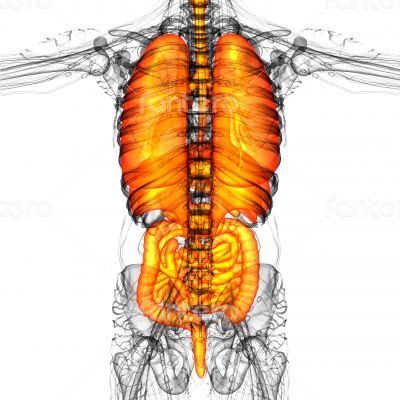 digestive system and respiratory system