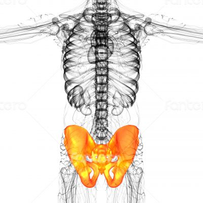 3D medical illustration of the pelvis bone