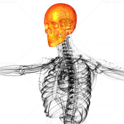 3d render medical illustration of the skull bone