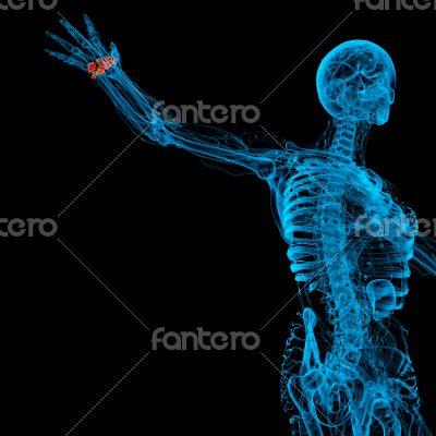 human carpal bones
