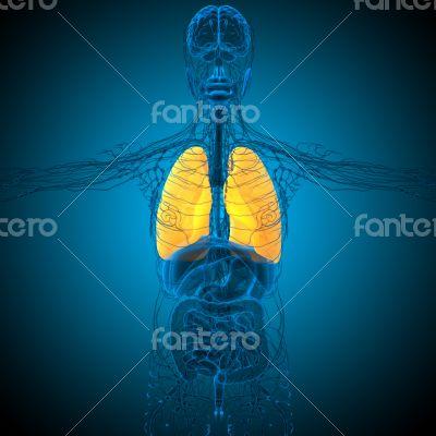 3d render medical illustration of the lung