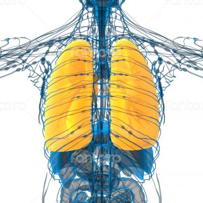 3d render medical illustration of the lung