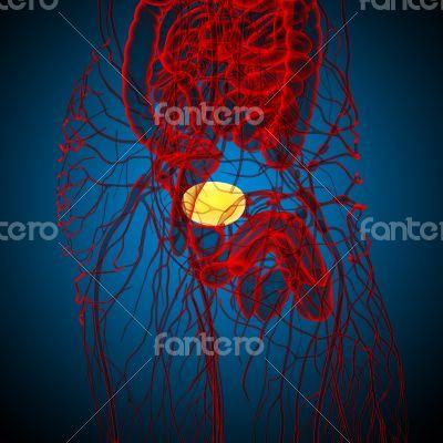 3d render medical illustration of the bladder