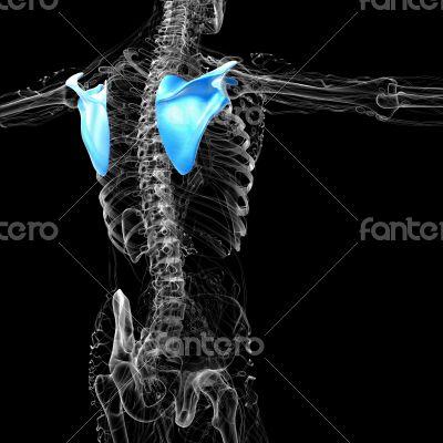 3d render medical illustration of the scapula bone