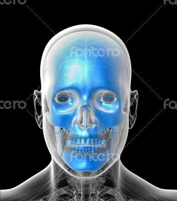 3D medical illustration of the human  skull