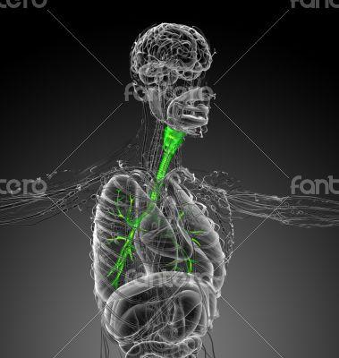 3d render medical illustration of the brounchi