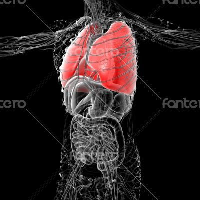 3D medical illustration of the human lung