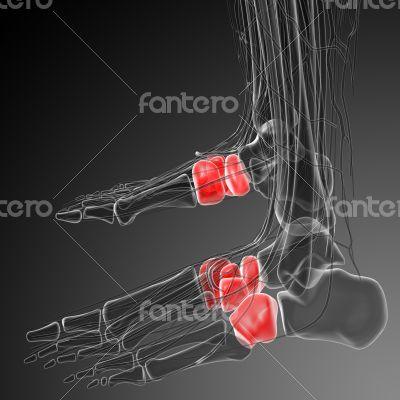 midfoot bone