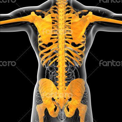 3D medical illustration of the human skeleton