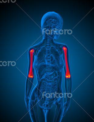 3d render medical illustration of the ulna