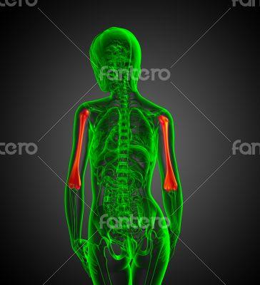 humerus bone