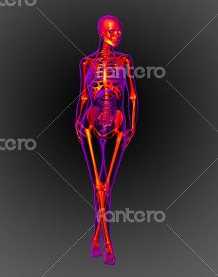 3d render medical illustration of the skeleton