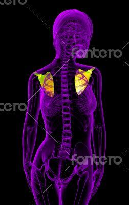 human scapula bone