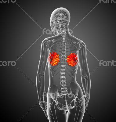 human breast