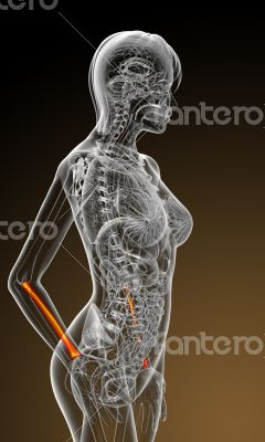 3d render medical illustration of the radius bone