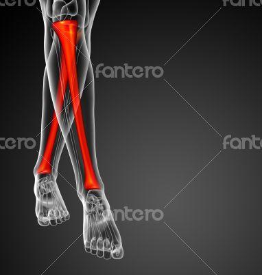 3d render medical illustration of the tibia bone