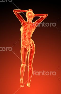 3d render illustration of the female anatomy
