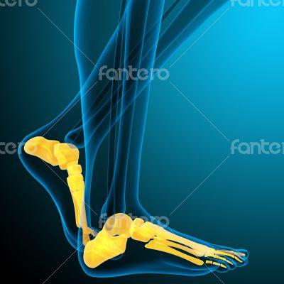 3d render medical illustration of the foot bone