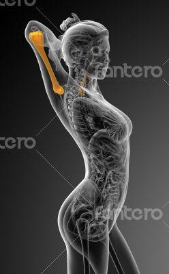 3d render medical illustration of the humerus bone