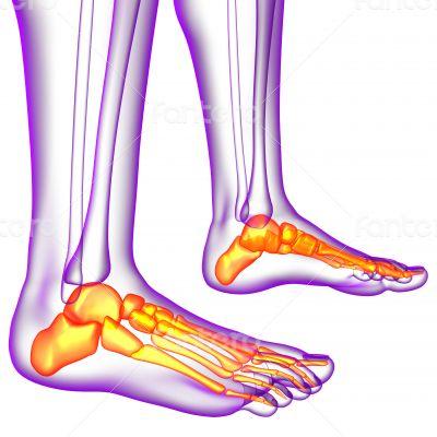 3d render medical illustration of the feet bone