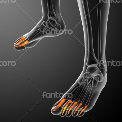 phalanges foot