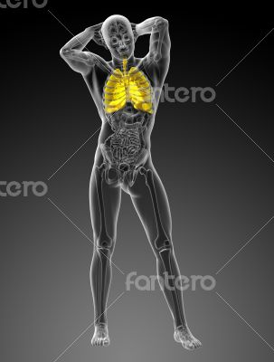 3d rendered illustration of the respiratory system