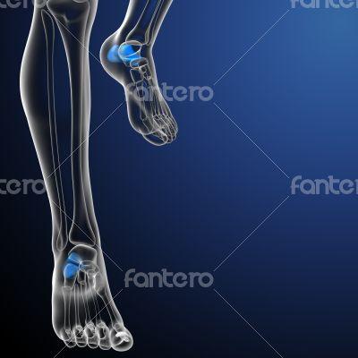 3d render medical illustration of the calcaneus