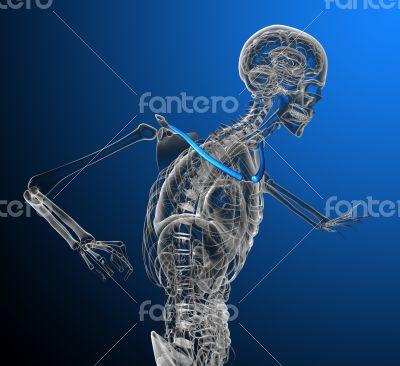 clavicle bone