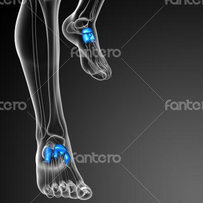 3d render medical illustration of the tarsals bone