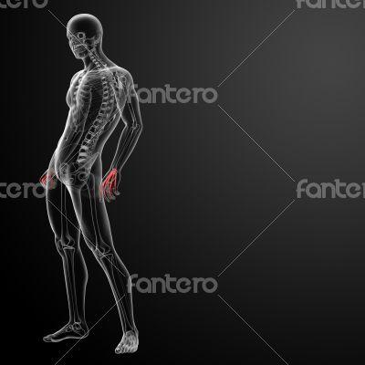 3d render skeletal hand