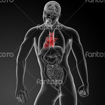 3d render human heart anatomy