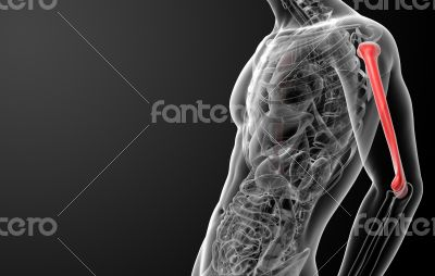 3d rendered humerus bone