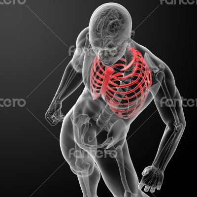 3d render illustration of the rib cage - top view