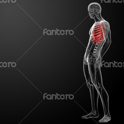 3d render illustration of the rib cage - side view