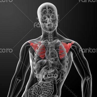 3d render illustration scapula bone - front view