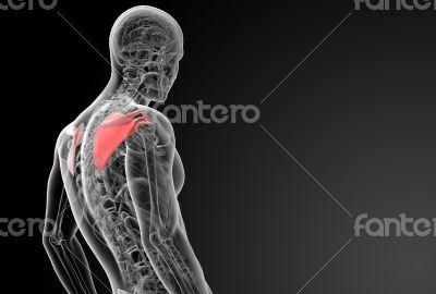 3d render illustration scapula bone - side view