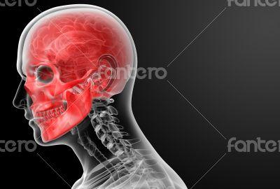 3d render human skull anatomy - side view