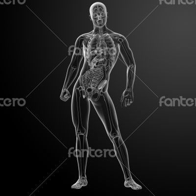 3d render human anatomy