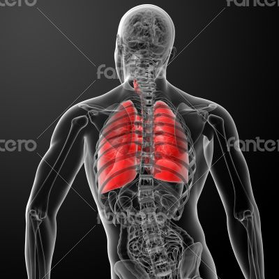 3d rendered illustration of  lung